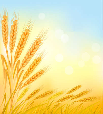 Background with ripe yellow wheat ears, agricultural vector illustration  Illustration