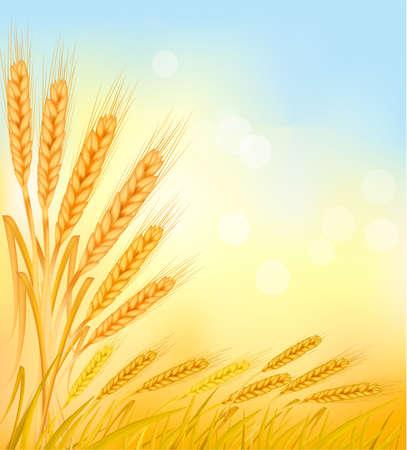 centeno: Fondo con orejas de trigo amarillo madura, ilustraci�n vectorial agr�cola