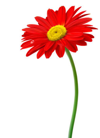 yellow daisy: Beautiful red flower in front of the white background  Vector  Illustration