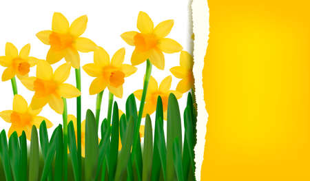 paschal: Narcissus and daffodil spring flower background with ripped paper  Vector illustration  Illustration