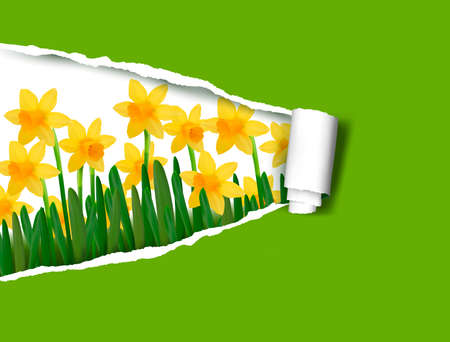 Narcissus and daffodil spring flower background with ripped paper  Vector illustration  Vector