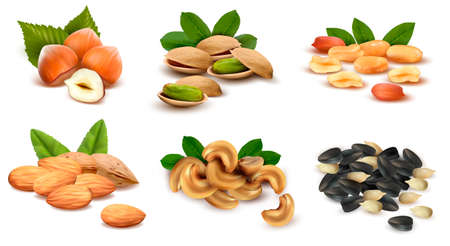 filbert nut: Big collection of ripe nuts. Vector
