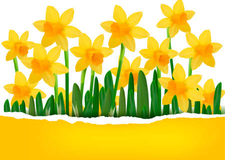 daffodil: Yellow spring flower background with ripped paper  Vector illustration