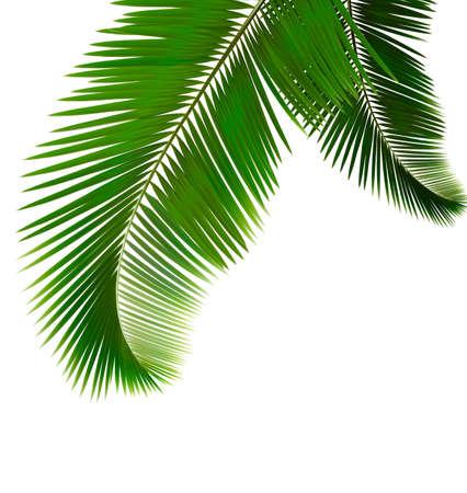 Palm Blätter auf weißem Hintergrund Vektor