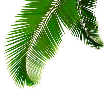 frond: Palm leaves on white background  Vector