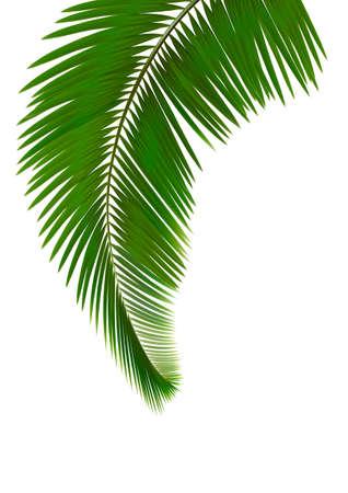 palm frond: Foglie di palma su sfondo bianco Vector