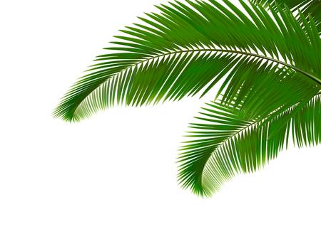 Palm leaves on white background.