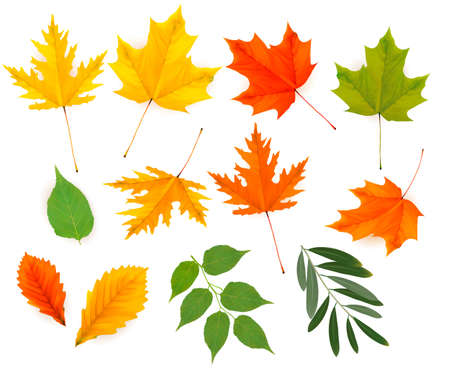 black and white leaf: Set of colorful autumn leaves.