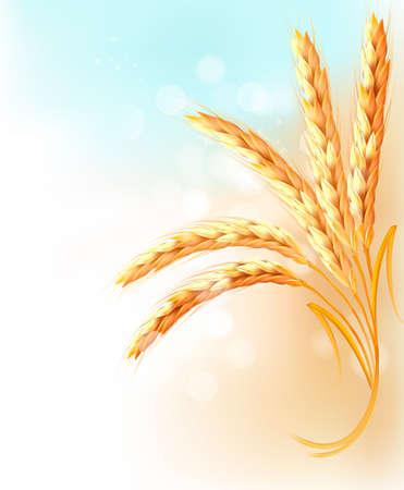 wheat crop: Espigas de trigo en frente de cielo azul