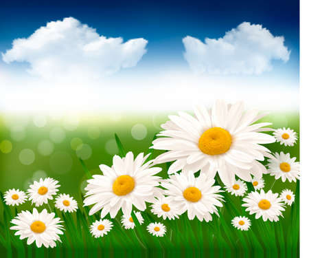 margerite: Nature background with beautiful flowers and blue sky