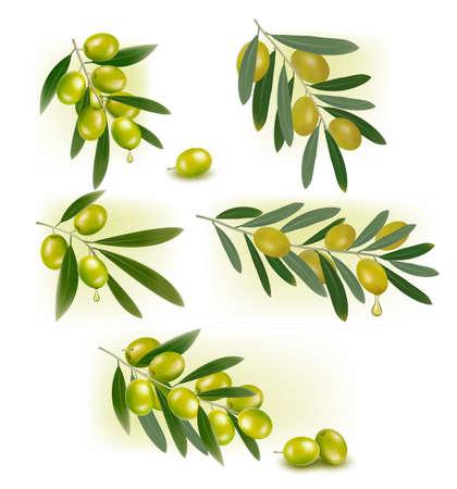 olivo arbol: Conjunto de fondos con la ilustraci�n de aceitunas verdes Vectores