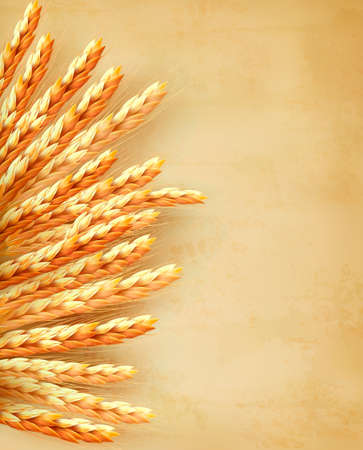 grain: Ears of wheat on old paper background. Vector illustration