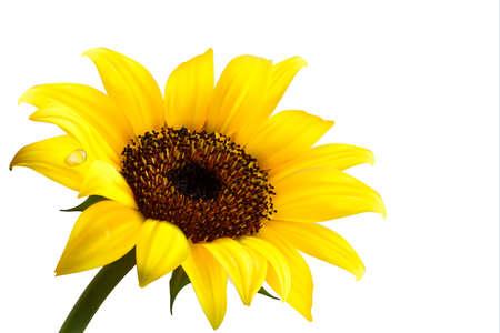 sunflower isolated: Sfondo con giallo girasole. Vector Vettoriali