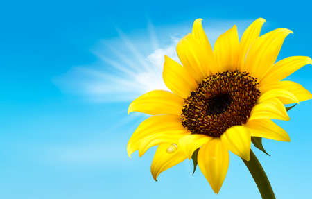 sunflower field: Background with sunflower field over cloudy blue sky. Vector
