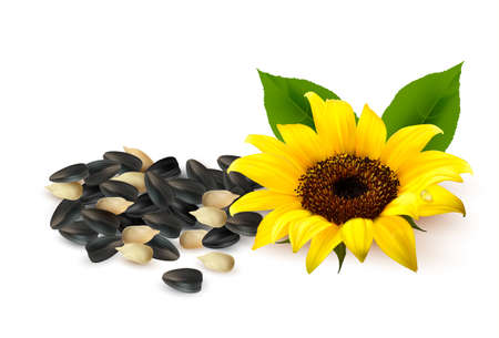 semilla: Fondo con los girasoles amarillos y semillas de girasol ilustración. Vectores
