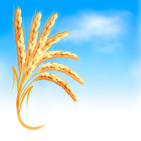 Ears of wheat in front of blue sky.  Stock Vector - 21165115