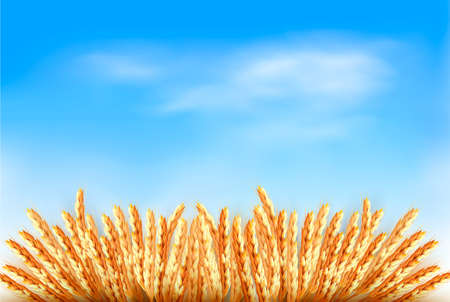 Ears of wheat in front of blue sky.