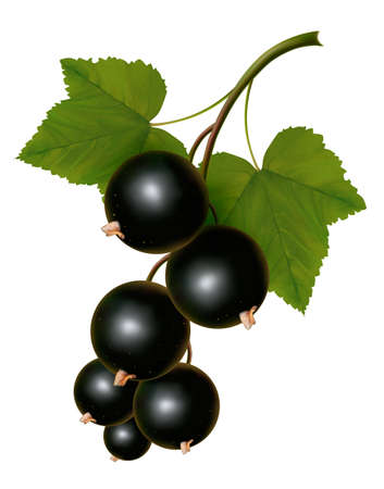 currants: Black currants with leaves. Vector
