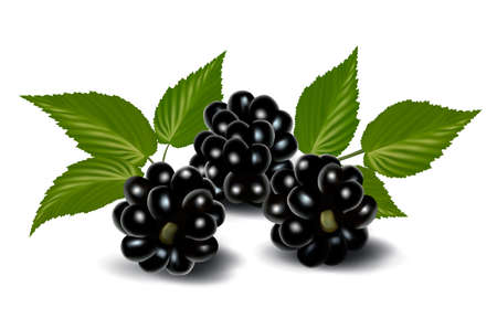 foxberry: Fresh berries with leaves. Vector illustration  Illustration