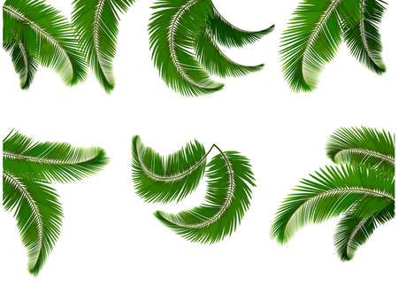 Set green branches with leaves of palm trees  Vector   Çizim