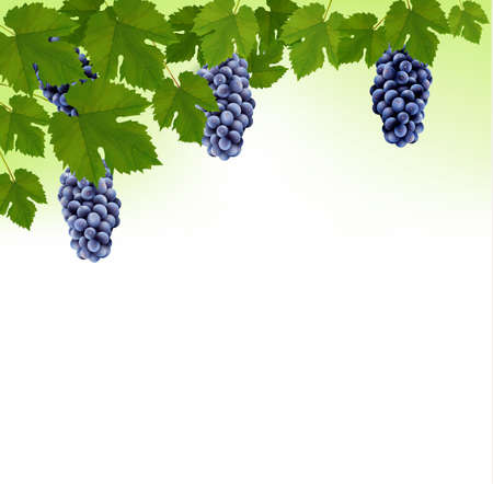 grape leaf: Background with grapes. Vector.  Illustration