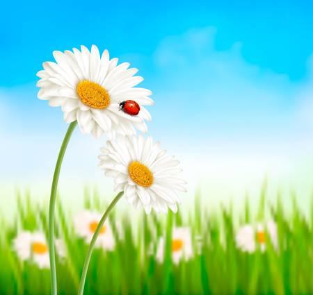 ladybug on leaf: Nature spring daisy flower with ladybug. Vector illustration. Illustration