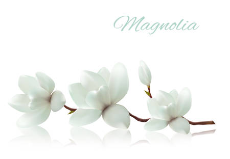 magnolia tree: Flower background with blossom branch of white magnolia. Vector Illustration