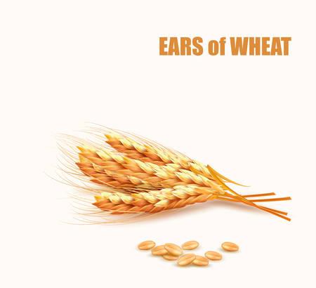 cosecha de trigo: Espigas de trigo. Ilustración del vector.
