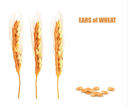 wheat grain: Ears of wheat. Vector illustration.