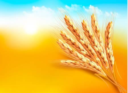 cosecha de trigo: Espigas de trigo. Ilustración vectorial