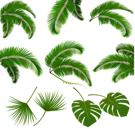 frond: Set of palm leaves isolated on white background. Vector illustration.