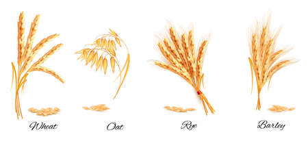 Ears of wheat, oat, rye and barley. Vector illustration.