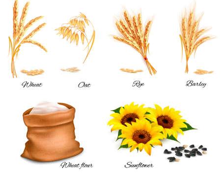 Ears of wheat, oat, rye, sunflower and barley. Vector illustration. Illustration