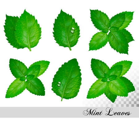 Collection of fresh mint and Melissa leaves. Иллюстрация