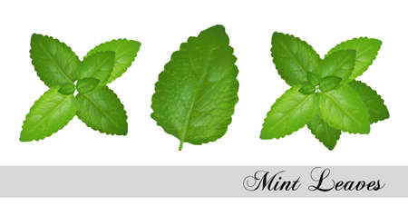 Collection of fresh mint leaves. Illustration