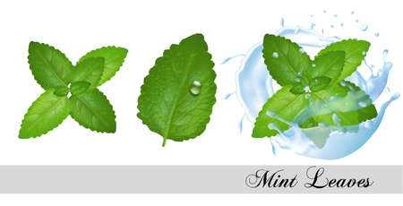 Collection of fresh mint and melissa leaves and splash of water. Vector set Иллюстрация