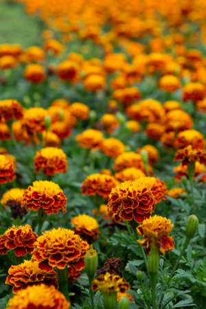 Tagetes patula, flowering plant in the daisy family, shades of yellow and orange Stock Photo
