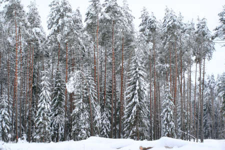 grayness: Landscape of a frozen winter forest in very high snow