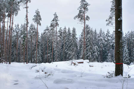 grayness: Landscape of a frozen trees of winter forest in a very high snow