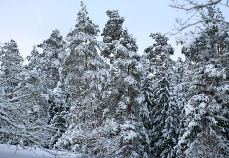 Frozen winter forest in the very high snow in countryside of Latvia Stock Photo