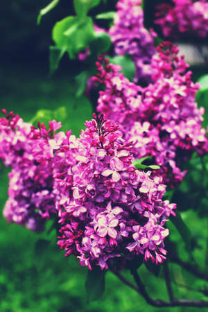 Beautiful branch with spring lilac flowers