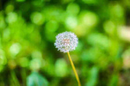 Close-up of dandelion against green background Stock Photo