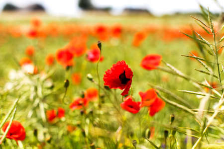 Field of poppy flowers in a countryside