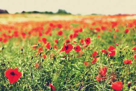 Field of poppy flowers in a countryside photo