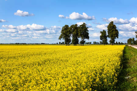 Field of yellow rapeseed in a countryside with beautiful clouds