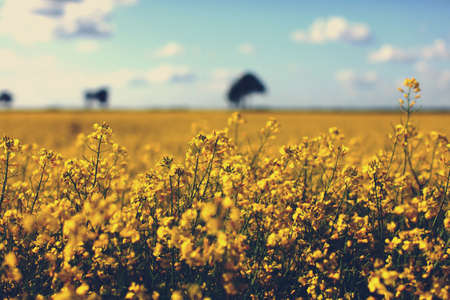Field of yellow rapeseed in a countryside with beautiful sky background Standard-Bild