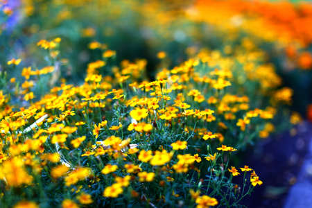 Yellow marigold flowers on a beautiful meadow Stock Photo