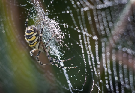 wasp spider in her net moist with dew photo