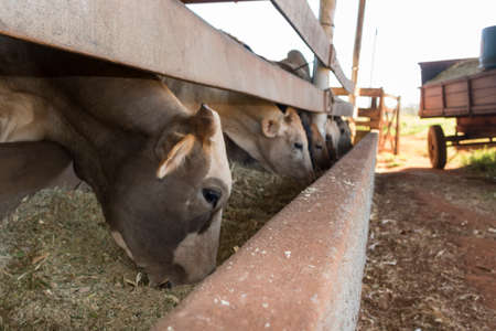Cattle on confinement in farm on Brazil.