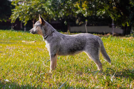 Rustic Heeler Kennel pupppy dog. Trainning dog in a park